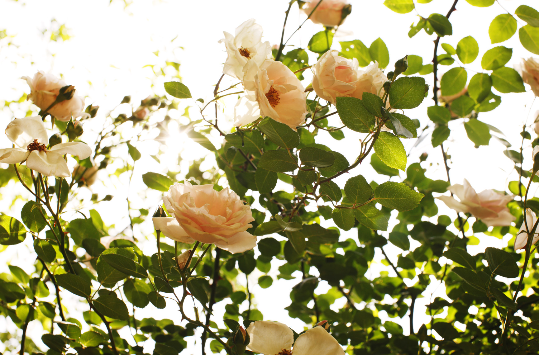 Elizabeth Elsey garden roses, photo by Mali Azima.